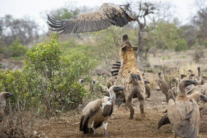 Hyena Vulture Bird 10