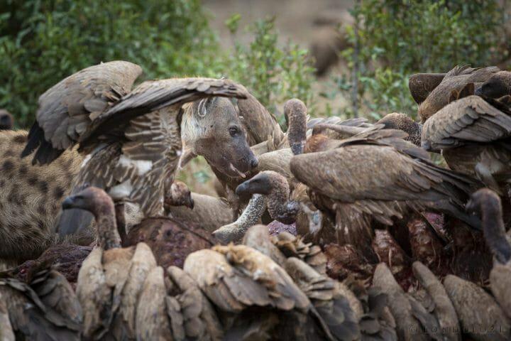 Hyena Vulture Bird
