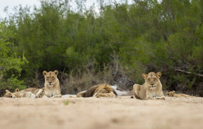 Mhangeni Lion Pride Sand River