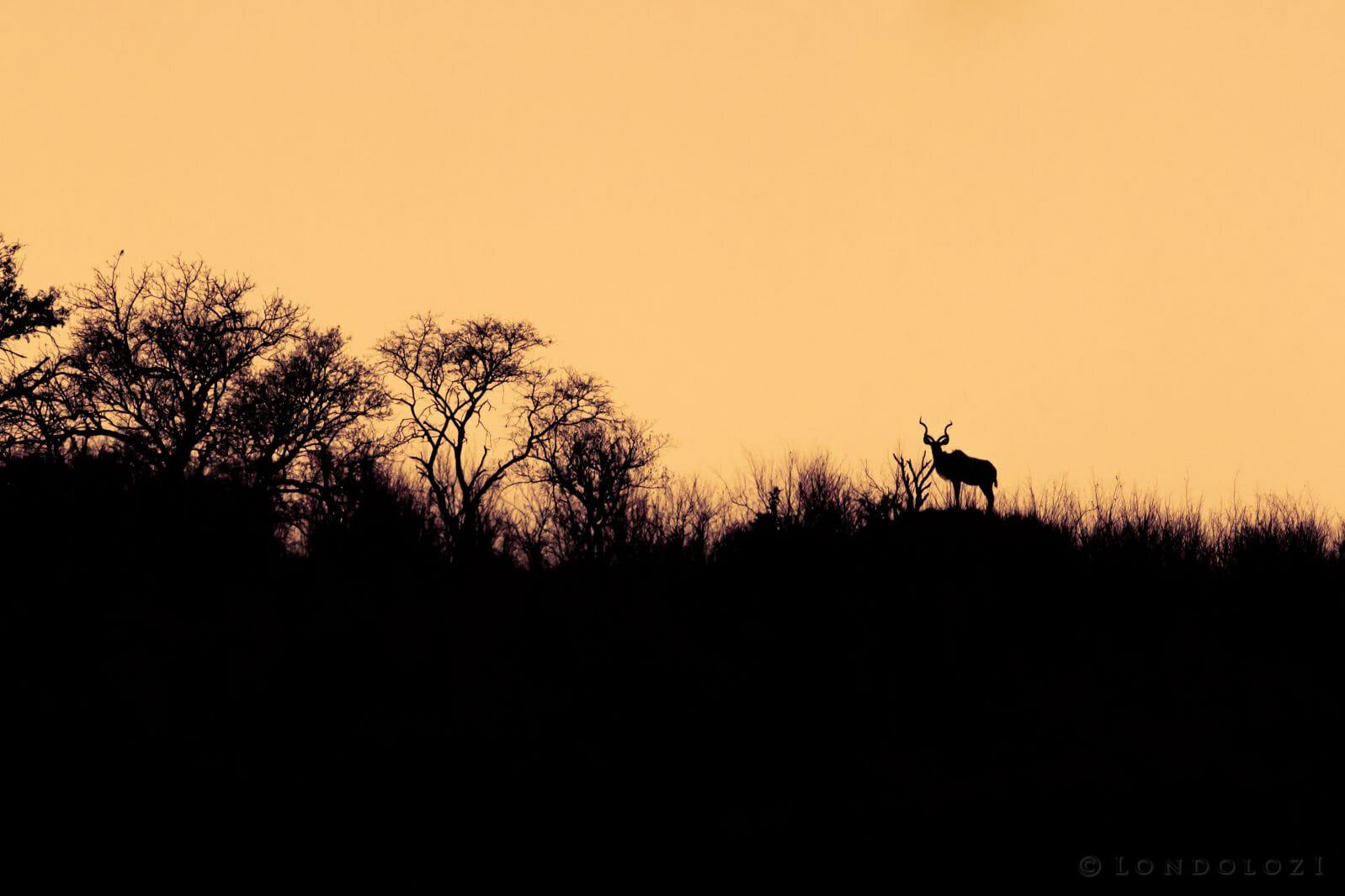 Kudu Silhouette Pt 2020 8012