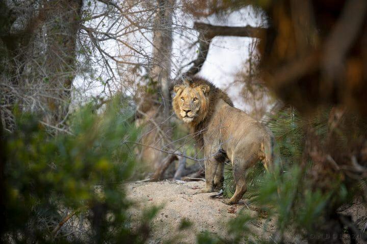 Avoca Lion