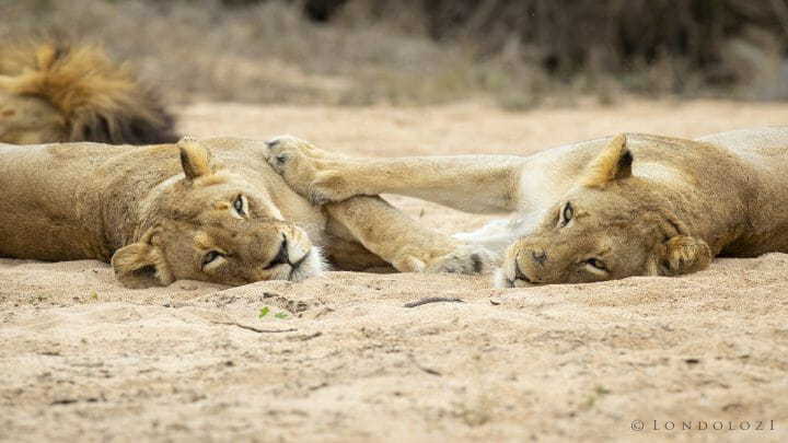 Mhangeni Lioness