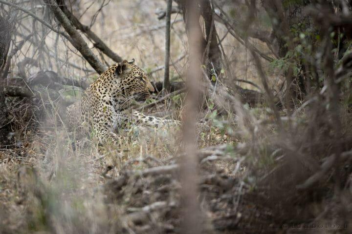 Misava Leopard1