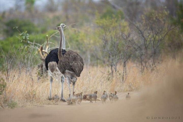 Ostrich Chicks Bird