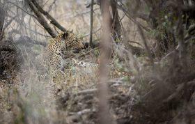 Misava Leopard 3