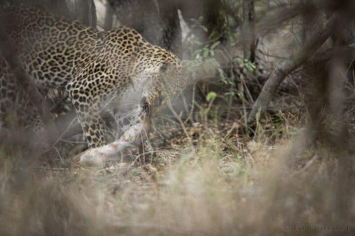 Misava Leopard