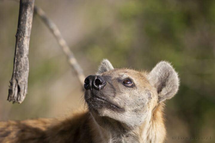 Hyena Eye