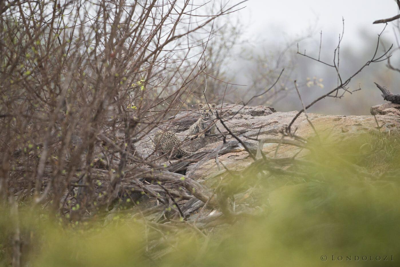 Makomsava Leopard Cubs