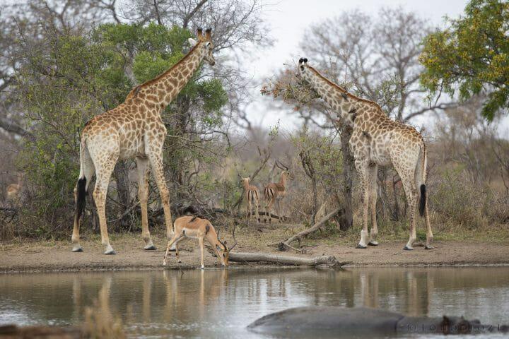 Waterhole Giraffe Impala