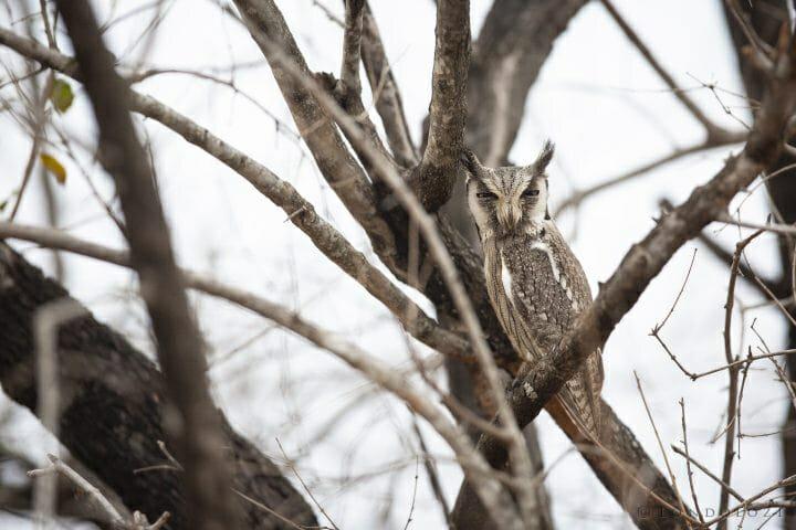 White Faced Owl Bird