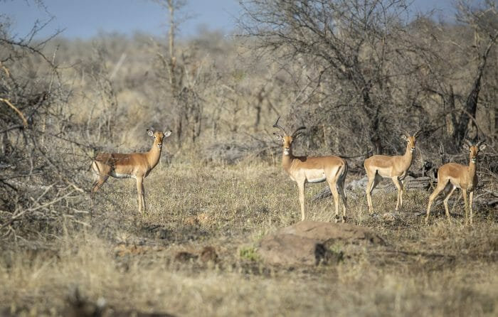 Impala Ram Horn 2