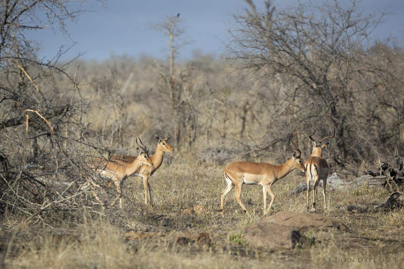 Impala Ram Horn 3