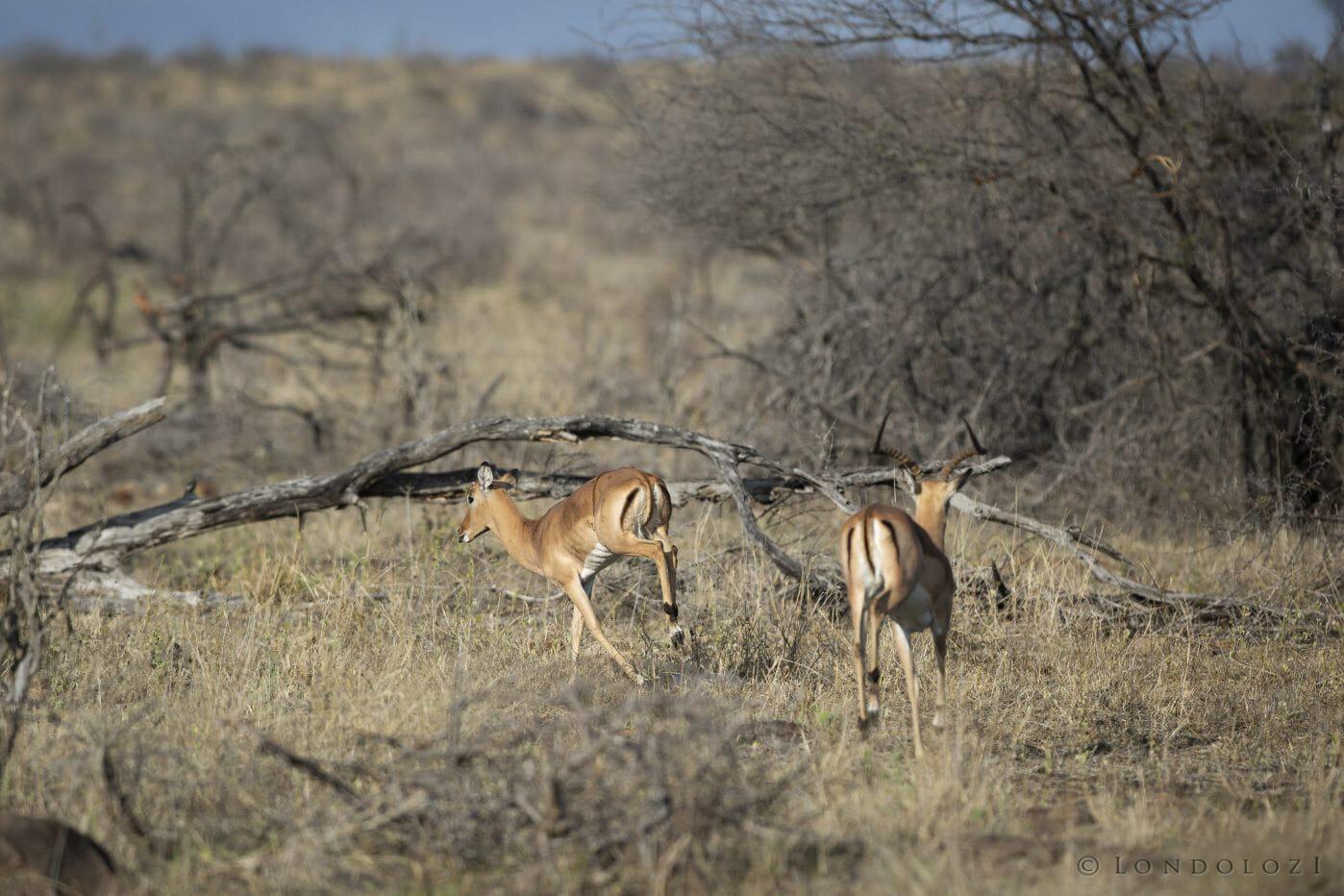 Impala Ram Horn