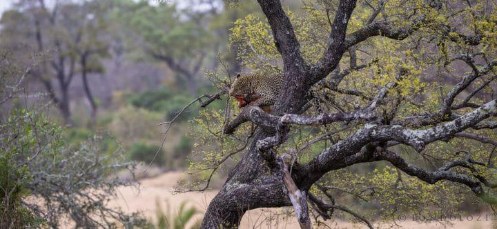 Flat Rock Leopard