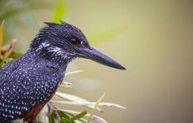 Giant Kingfisher Bird