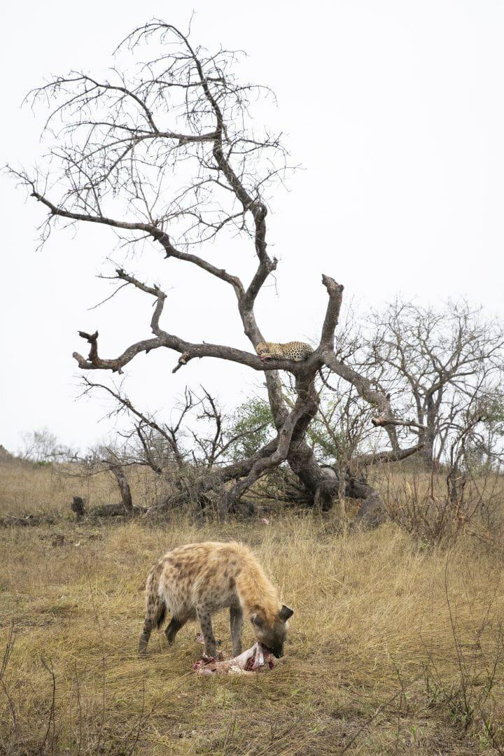 Hyena Ximungwe Leopard