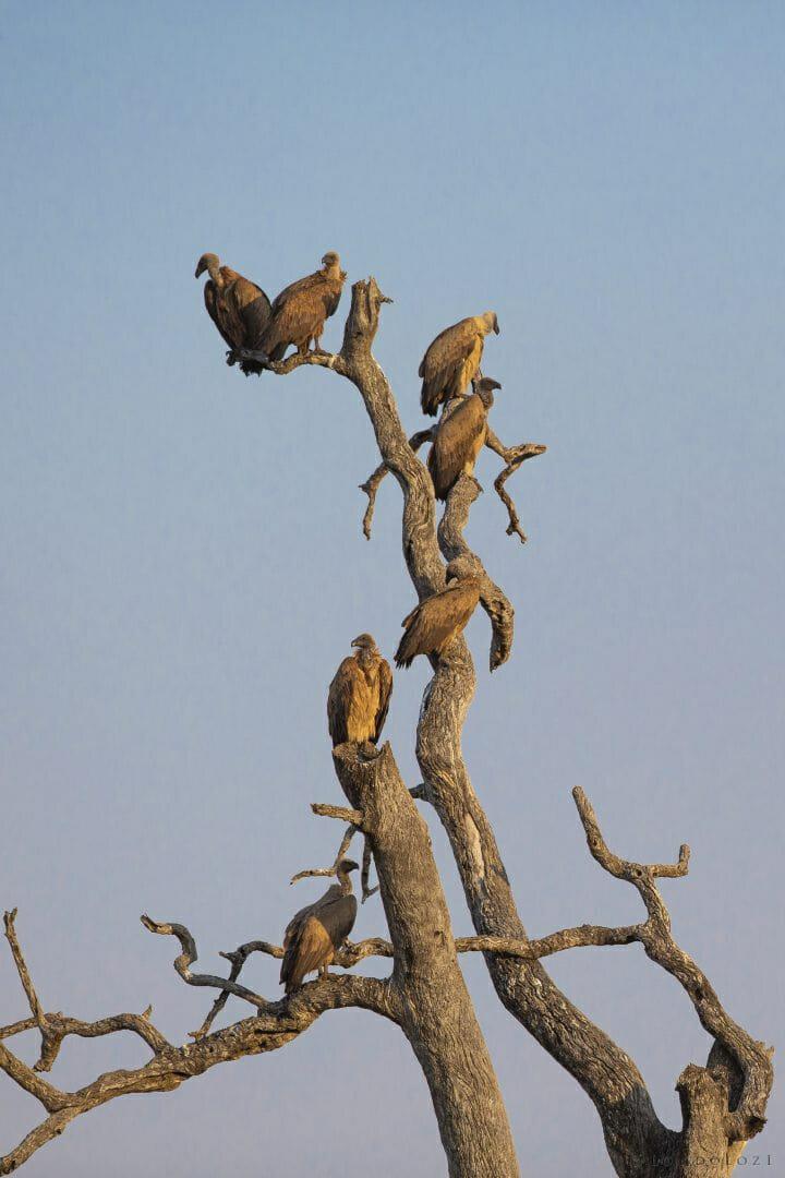 Vultures Bird