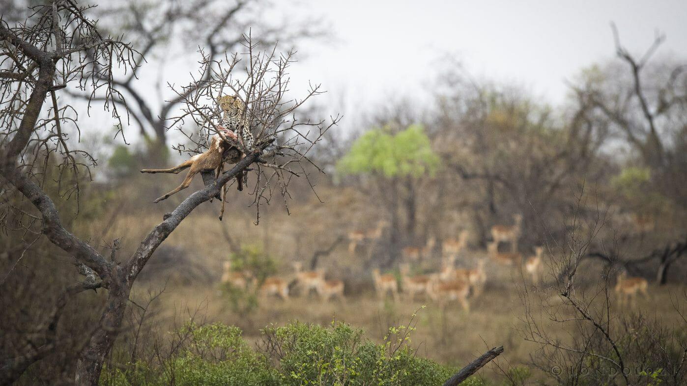 Ximungwe Leopard Impala Kill