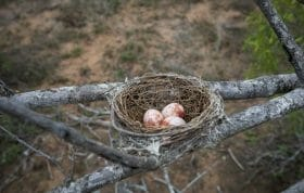 Drongo Bird Egg Nest