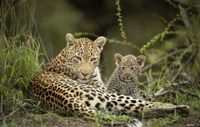 Nhlanguleni Leopard Cub 2