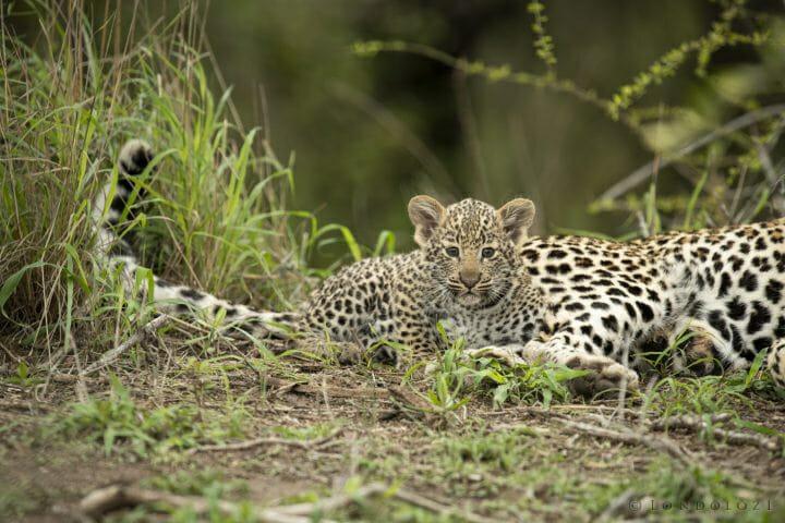 Nhlanguleni Leopard Cub 4