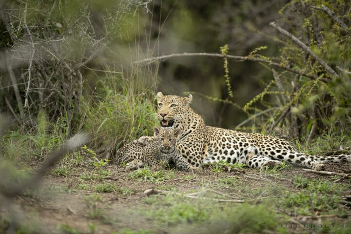 Nhlanguleni Leopard Cub