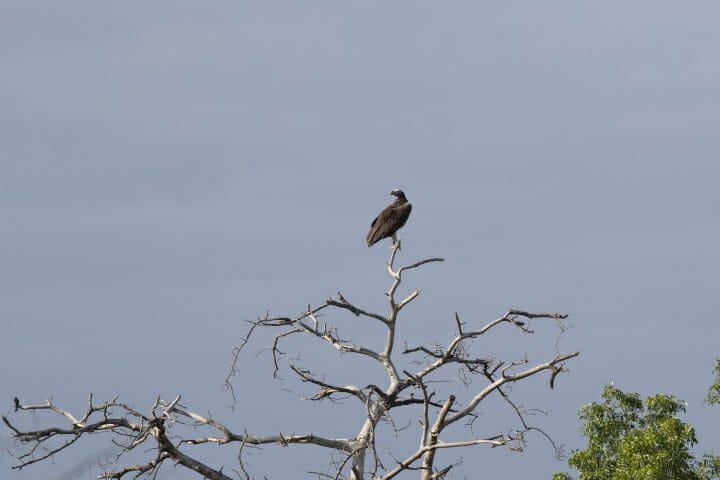 Lappet Faced Vulture