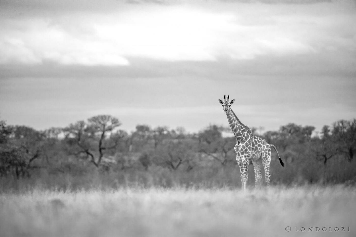 Giraffe Calf In B W 1604