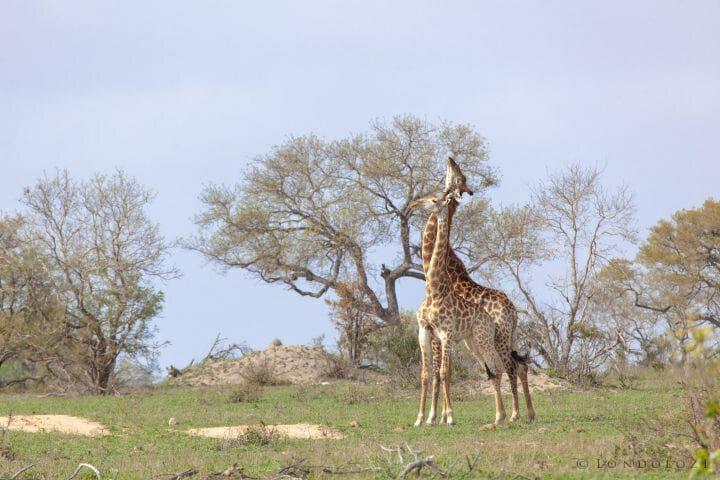 Giraffe Necking 1896
