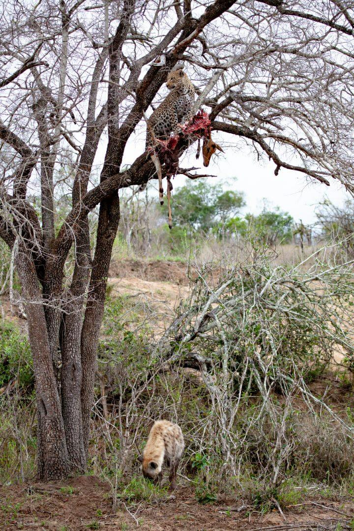 Nkoveni Female Ad Hyena 1628