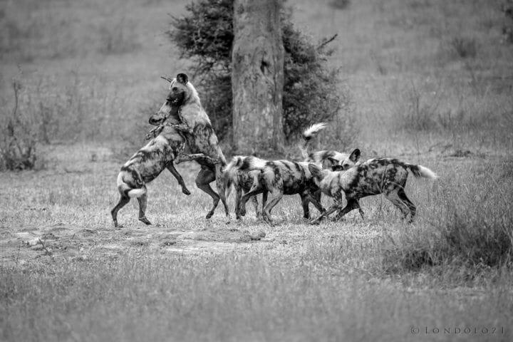Wild Dog Playing In B W 1754