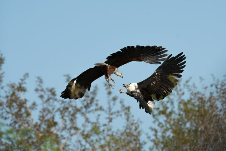 Fish Eagle Talon Grabbing