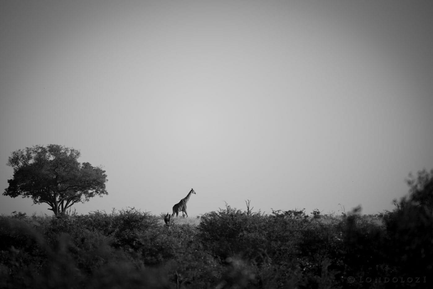 Giraffe Bw Open Areas