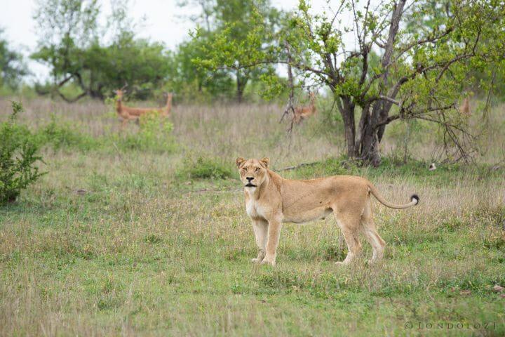 Ntsevu Lionesses