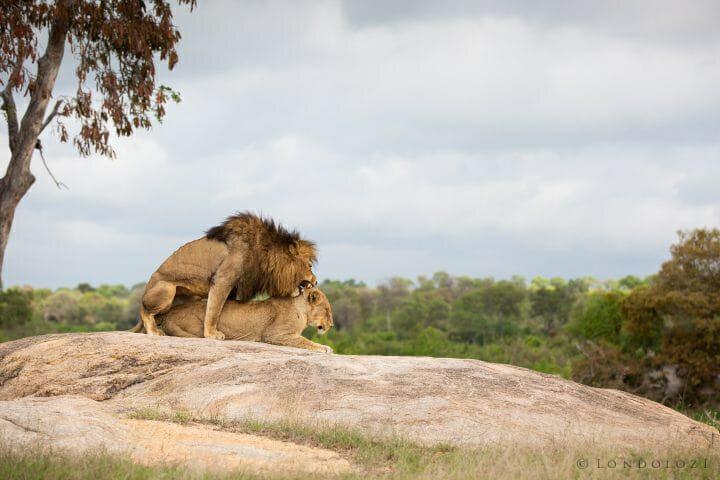 Ntsevu Othawa Lion Plaque Rock 2
