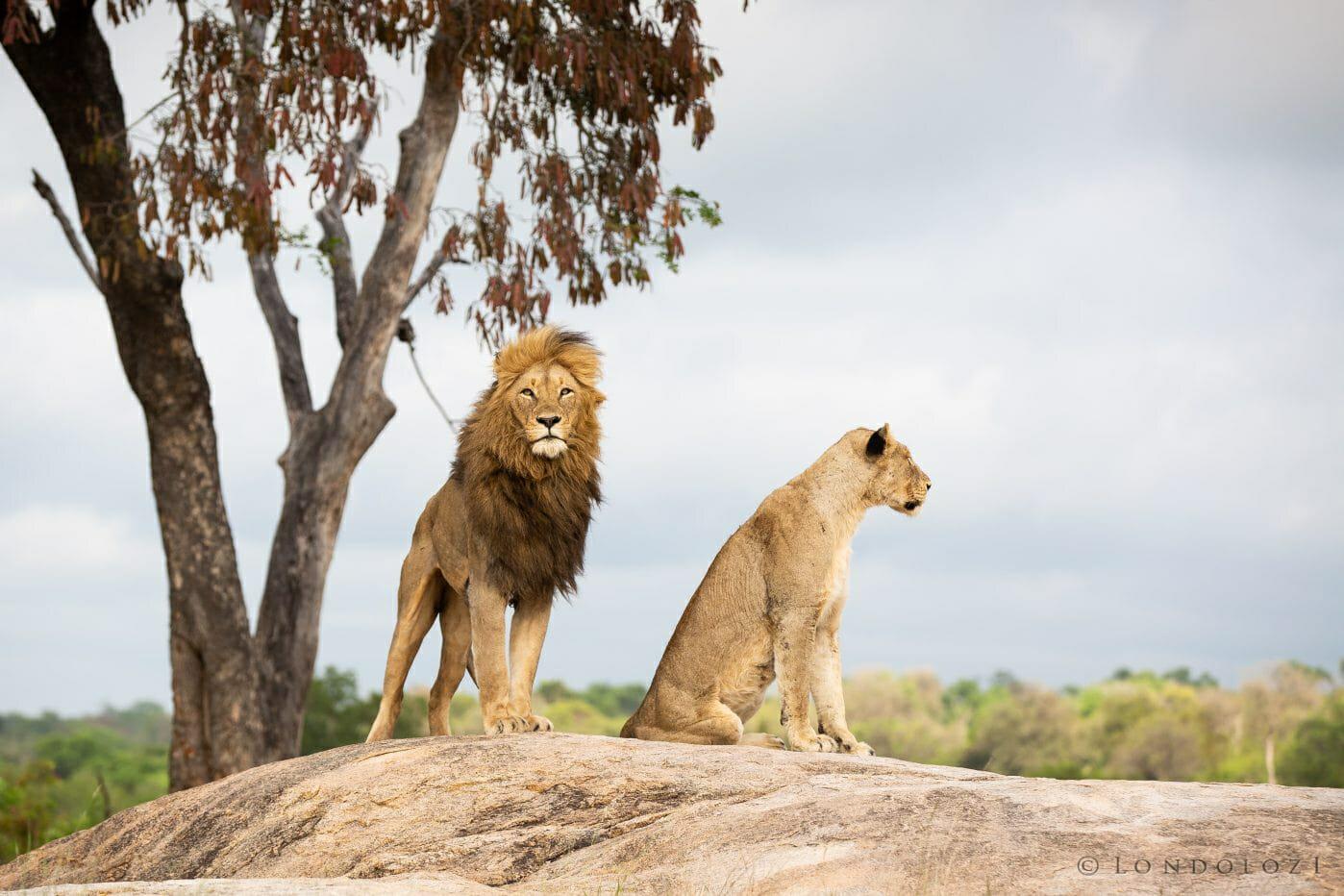 Ntsevu Othawa Lion Plaque Rock
