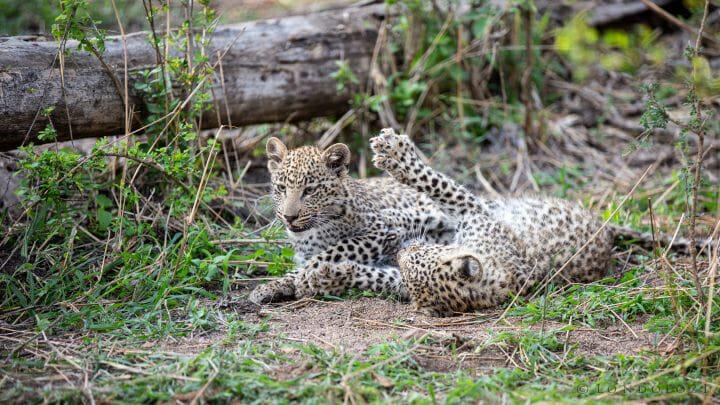Mashaba Leopard Cubs 2015 Ximungwe
