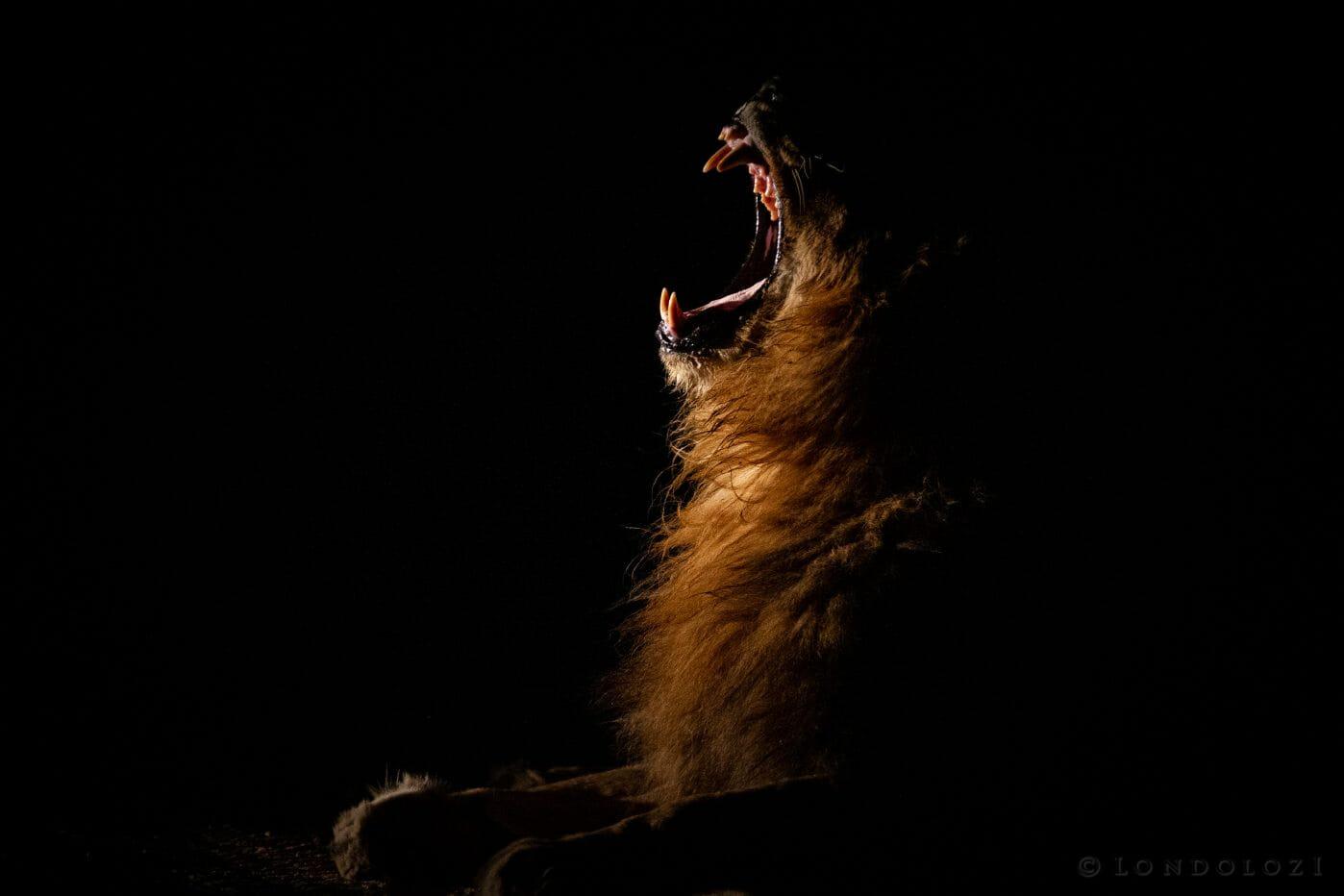 Matimba Lion Yawn Sidelight