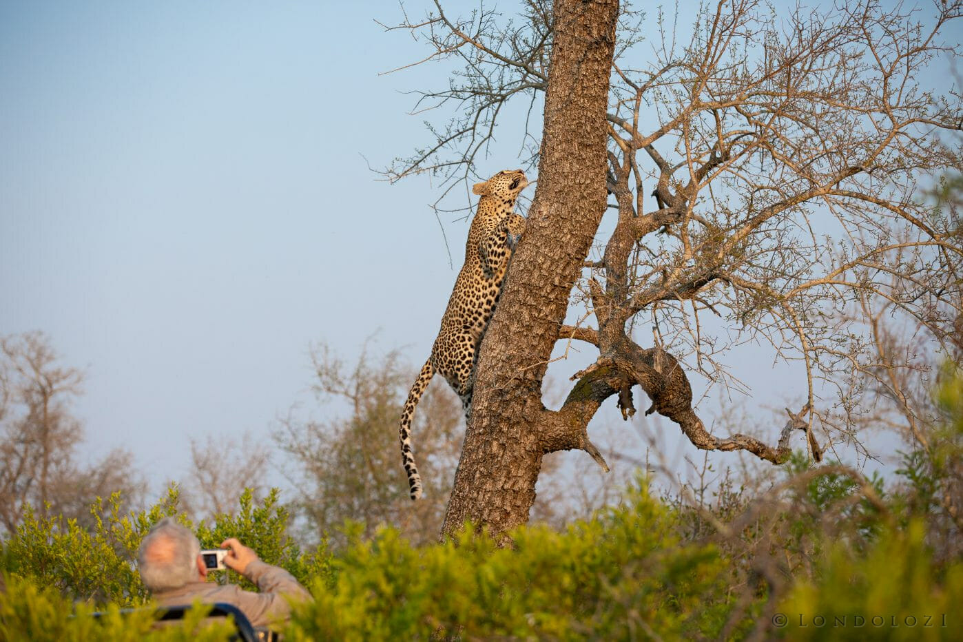 Nkoveni Leopard