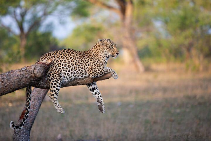 Tamboti Leopard
