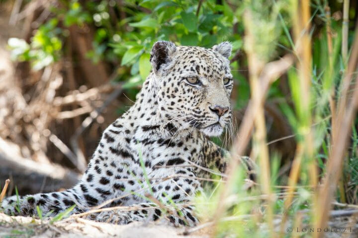 Dudley Riverbank Leopard