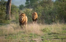 Birmingham Male Lion Pair