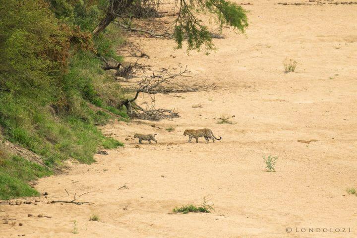 Piccadilly Leopard Cub Manyelethi 2
