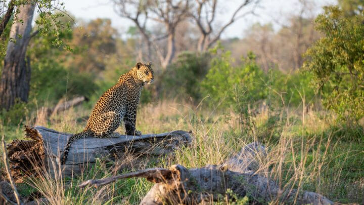 Piccadilly Leopard Cub 2