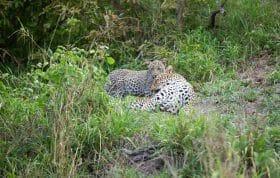 Piccadilly Leopard Cub 4