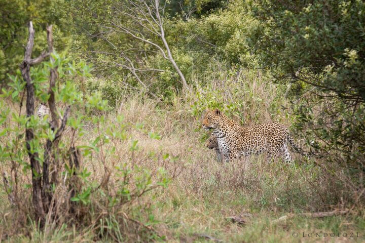 Piccadilly Leopard Cub 5