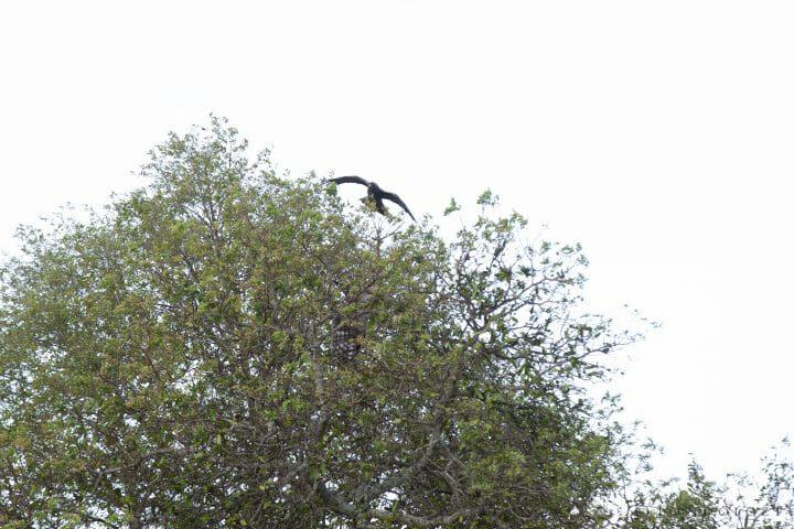 Wahlbers Eagle Owl Verrauxs Giant Bird 2