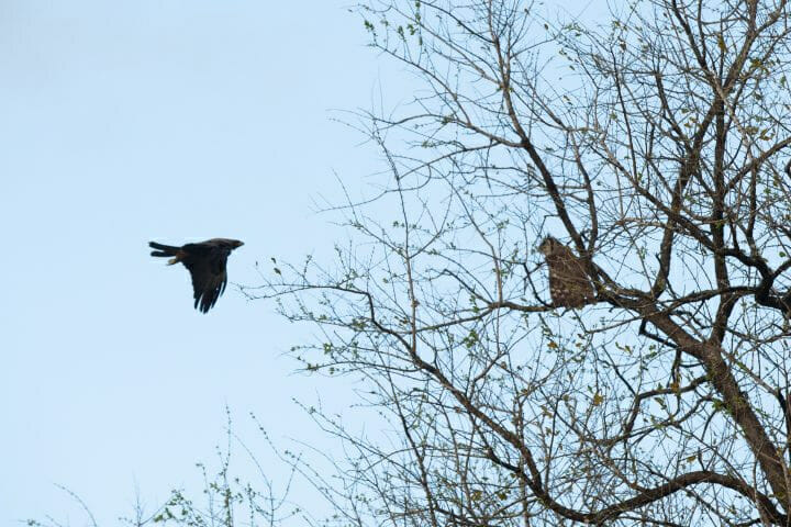 Wahlbers Eagle Owl Verrauxs Giant Bird 5