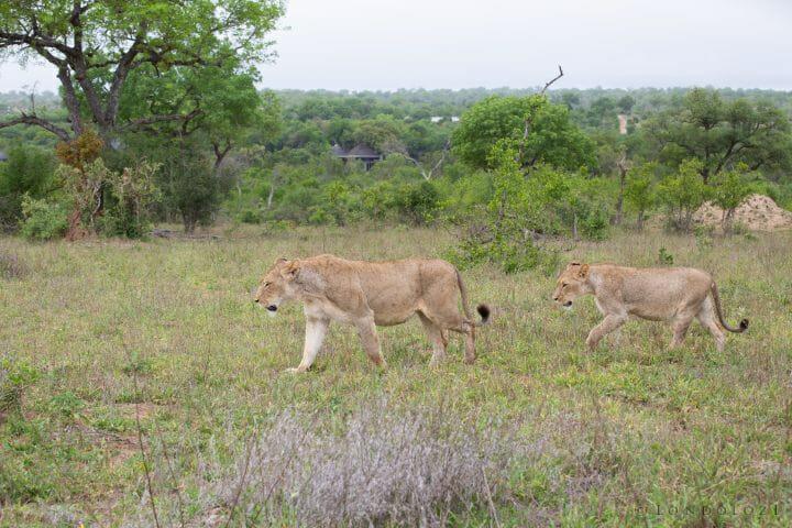 Tsalala Lion 4