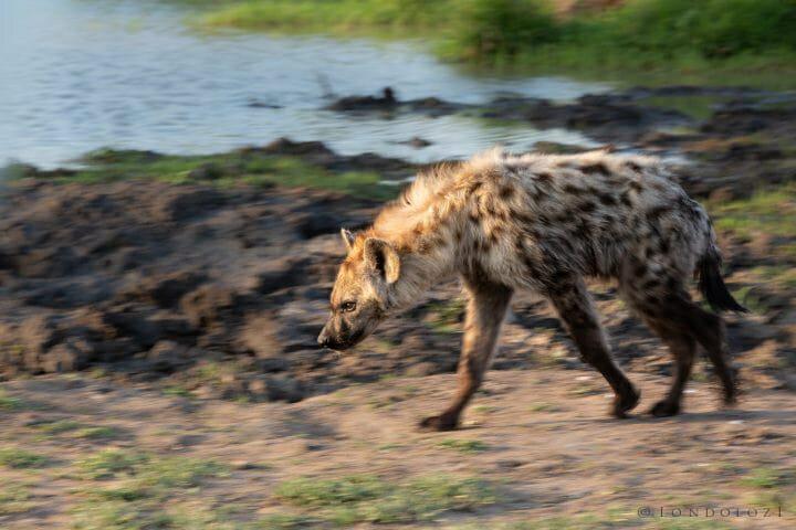 Hyena Walk
